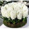 Bulbi Zambile Carnegie (Hyacinthus)