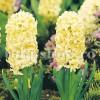 Bulbi Zambile City of Haarlem (Hyacinthus)