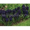Bulbi Zambile Dark Dimension (Hyacinthus)