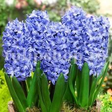 Bulbi Zambile Delft Blue (Hyacinthus)