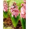 Bulbi Zambile Eros (Hyacinthus)