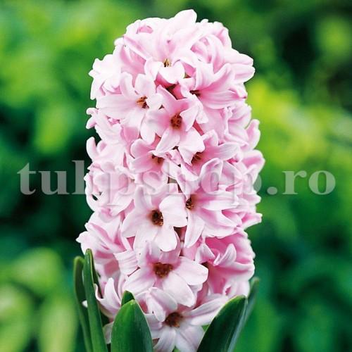 Bulbi Zambile Fondant (Hyacinthus)