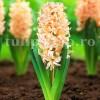 Bulbi Zambile Gipsy Queen (Hyacinthus)