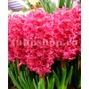 Bulbi Zambile Jan Boss (Hyacinthus)