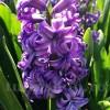 Bulbi Zambile Lili Purple (Hyacinthus)