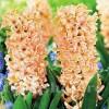 Bulbi Zambile Odysseus (Hyacinthus)
