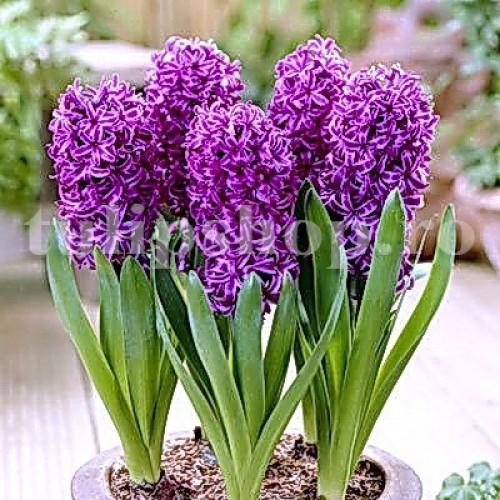 Bulbi Zambile Purple Star (Hyacinthus)