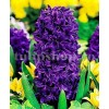 Bulbi Zambile Purple Star (Hyacinthus)
