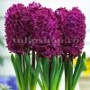 Bulbi Zambile Woodstock (Hyacinthus)