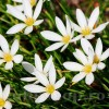 Bulbi Zephyranthes Alba