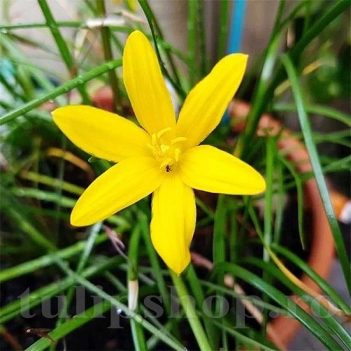 Bulbi Zephyranthes Citrina