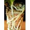 Muschi Sphagnum pentru orhidee 1,4l