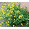 Seminte Ghizdei (Lotus Corniculatus) 25kg