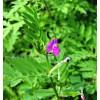 Seminte Mazariche (Vicia Sativa) 25kg