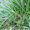 Seminte Raigras Peren (Lollium Perenne) 25kg