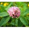 Seminte Trifoi Rosu       (Trifolium Pratense) 25kg