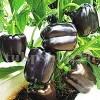 Seminte ardei gras Black Blocky 100buc.