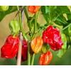 Seminte ardei iute Habanero Red 50buc.