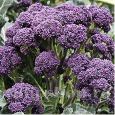 Seminte brocoli Early Purple Sprouting 400buc.
