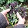 Seminte brocoli Early Purple Sprouting 400buc.