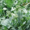 Seminte brocoli San Marzano 1000buc.