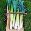 Seminte praz Blue Solaise 500buc.