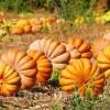 Seminte Dovleac Muscade de Provence 30buc.