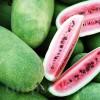 Seminte pepene Charleston Gray 100buc.