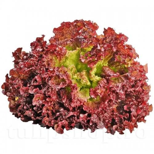 Seminte salata Lollo Rossa 2000buc.
