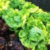 Seminte salata May Queen 2000buc.