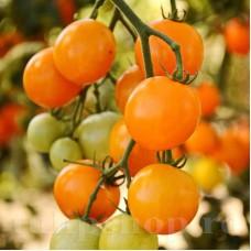 Seminte tomate Figiel 200buc.