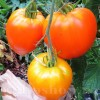 Seminte tomate Inima de Bou Orange 100buc.