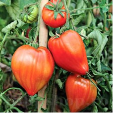 Seminte tomate Inima de Bou Roz 100buc.