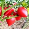 Seminte tomate Inima de Bou 100buc.