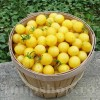 Seminte tomate Lemon Drop 200buc.