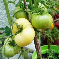 Seminte tomate White Beauty 200buc.