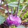 Seminte gulie Purple Vienna 500buc.