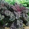 Seminte varza kale creata Scarlet 500buc.