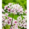 Bulbi Allium Cameleon (Ceapa decorativa)