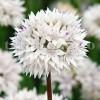Bulbi Allium Gracefull (Ceapa decorativa)