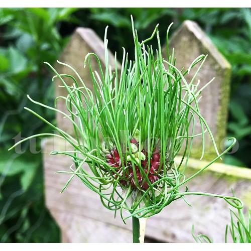 Bulbi Allium Hair (Ceapa decorativa)