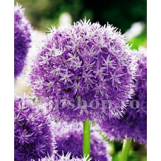 Bulbi Allium His Excellency (Ceapa decorativa)