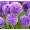 Bulbi Allium His Excellency (Ceapa decorativa)