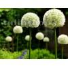 Bulbi Allium Mount Everest (Ceapa decorativa)