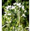 Bulbi Allium Neapolitanum (Ceapa decorativa)