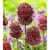 Bulbi Allium Red Mohican (Ceapa decorativa)