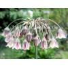 Bulbi Allium Siculum (Ceapa decorativa)