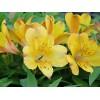 Bulbi Alstroemeria Yellow Princess (Crin Peruvian)