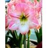 Bulbi Amaryllis Apple Blossom (Hipperastrum)