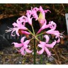 Bulbi Nerine Bowdenii (Amaryllidacee)